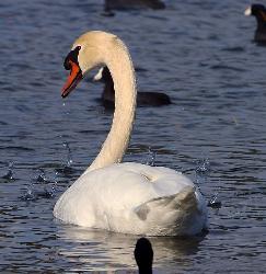 Swan-243x250