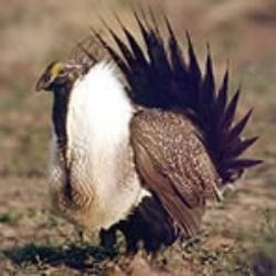 sage_grouse_2-250x250