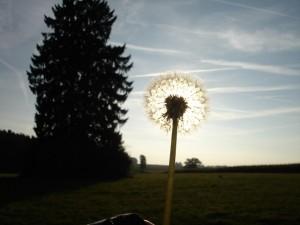 dandelion-back-light-flower-nature-sun